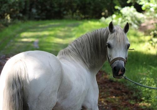 Hevosten hengitystiesairaudet ja krooninen ähky