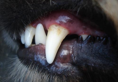 Koiran ja kissan hammashoito II